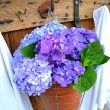 I love using hydrangeas for brightening things up. Fresh cuttings were placed in a plastic pot and wire basket, making it a breeze to move around if need be.