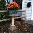 This antique birdbath, with its Doric column, has been a fixtue in the front yard since 1941. Every fall it becomes a pedistal for an old gavanized bucket filled with mums.